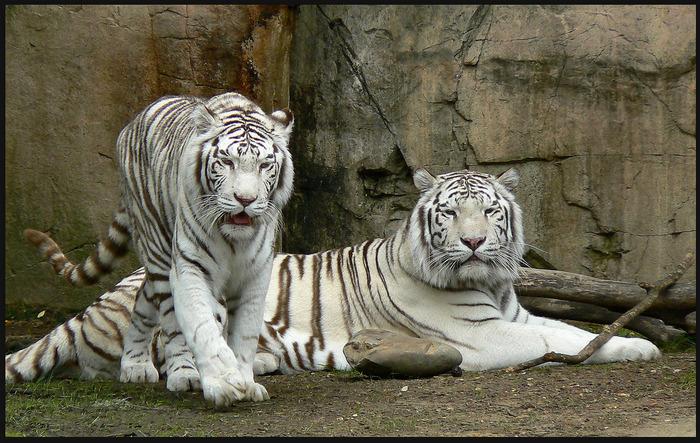 tigriki (700x443, 176Kb)