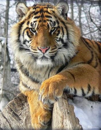 тигр (352x450, 65Kb)