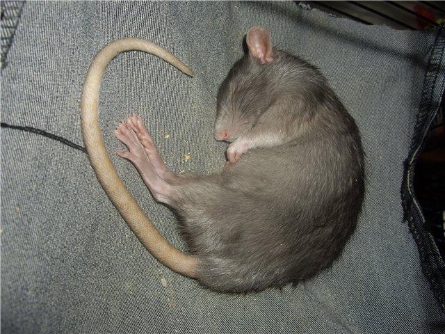 гладить серую мышь во сне
