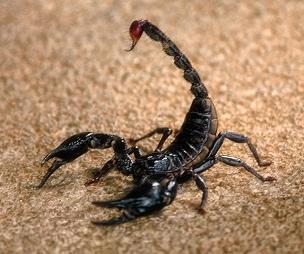 скорпион (304x254, 77Kb)