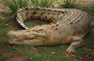 крокодил (302x196, 11Kb)