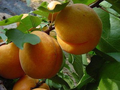 fruits (400x300, 43Kb)