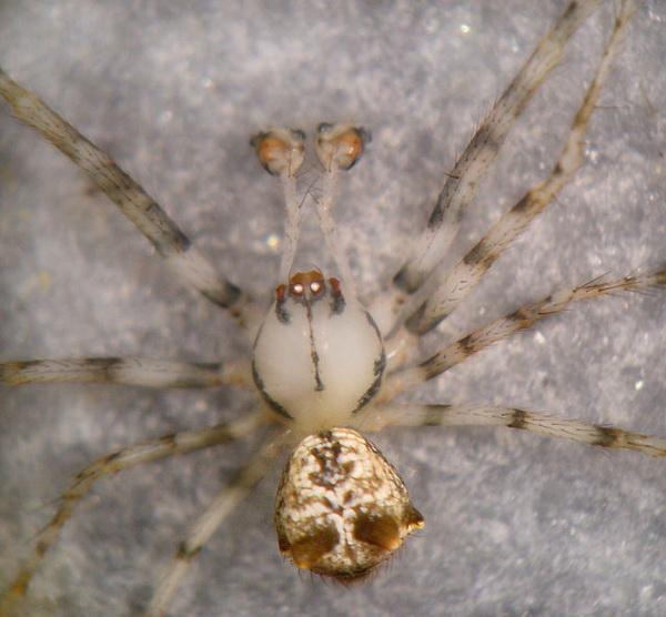 Пауки-миметиды