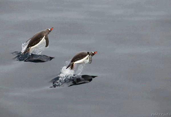 pingwiny_20 (600x410, 21Kb)