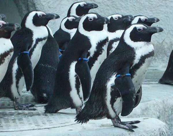 pingwiny_07 (600x474, 59Kb)