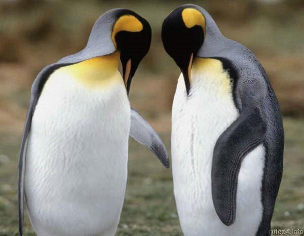 pingwiny_19 (600x466, 36Kb)