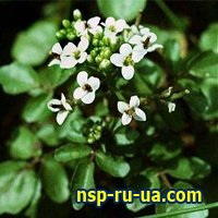 3234145_1293351812_nasturtiumofficinale (200x200, 14Kb)