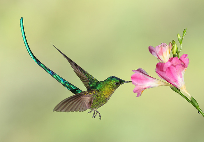 Hummingbirds avoid overheating with special windows in