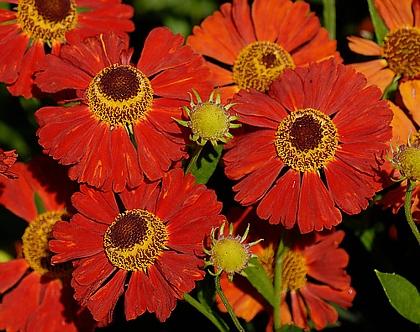 Осенние цветы многолетние