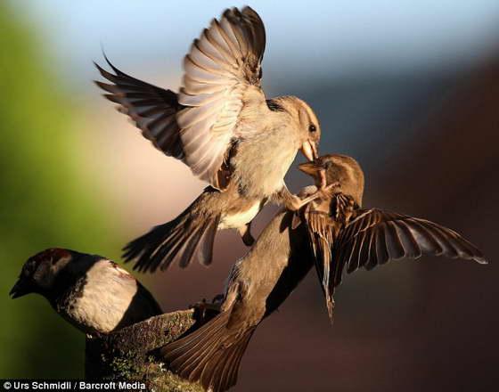 sparrow2 (560x440, 25Kb)