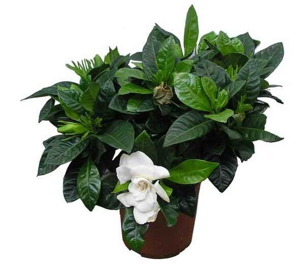 Представляет собой куст 50-60 см, цветет в конце лета или сентябре.  Гардения.  Очень популярные цветы комнатные...