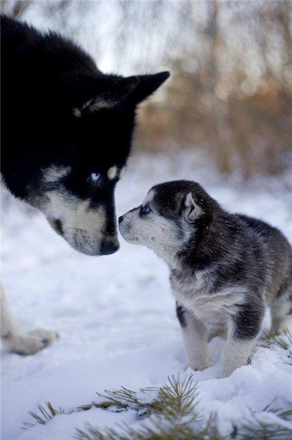 Собака лезет на дерево (видео).  Сибирский хаски очень древняя порода.