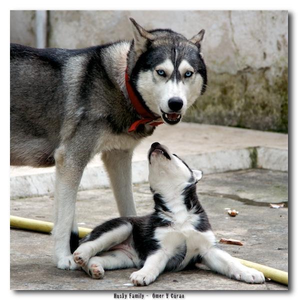 Husky_Family_by_jevigar (596x600, 145Kb)