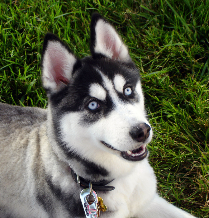 Siberian_Husky_blue_eyes_Flickr (671x700, 221Kb)
