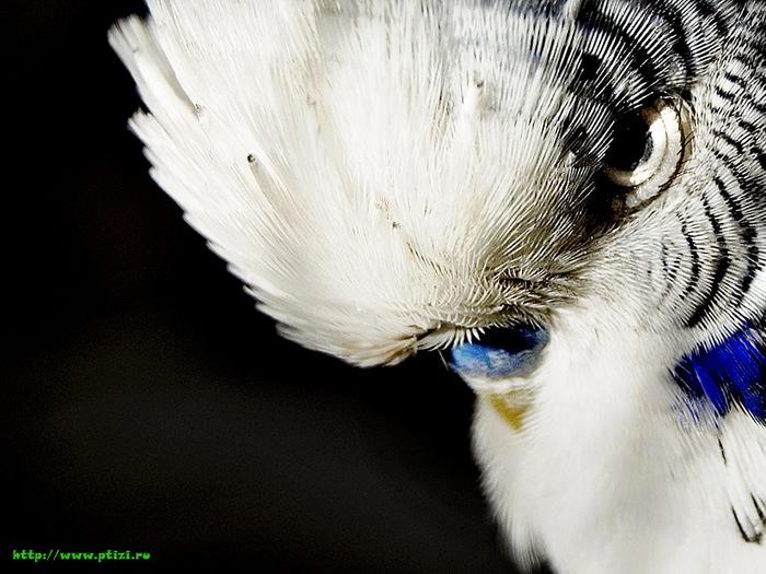 попугай (700x525, 115Kb)