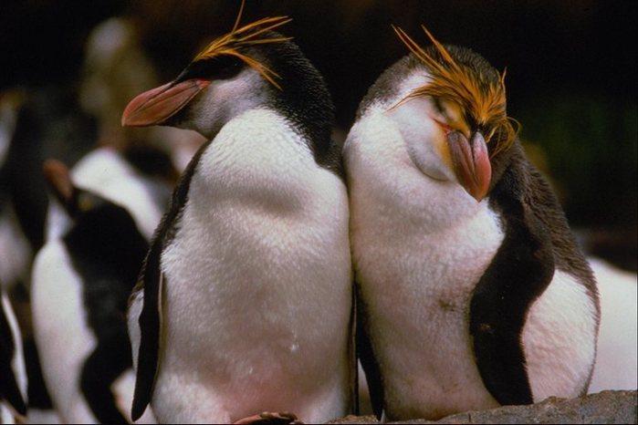 пингвин/4278666_541052 (700x466, 51Kb)