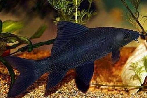 Замбези.  22 см. Агрессивны к более маленьким рыбам
