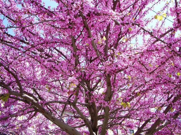 Цветущие деревья  и названия