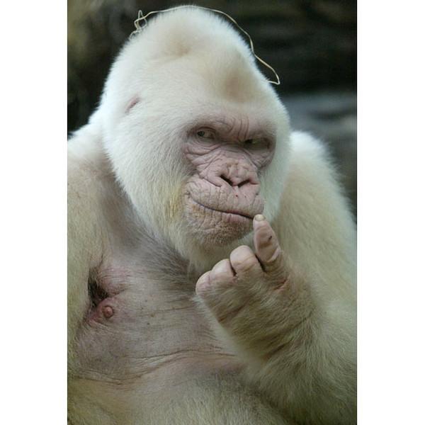 Горилла-альбинос (600x600, 70Kb)
