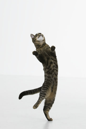 cat jumping (360x541, 45Kb)