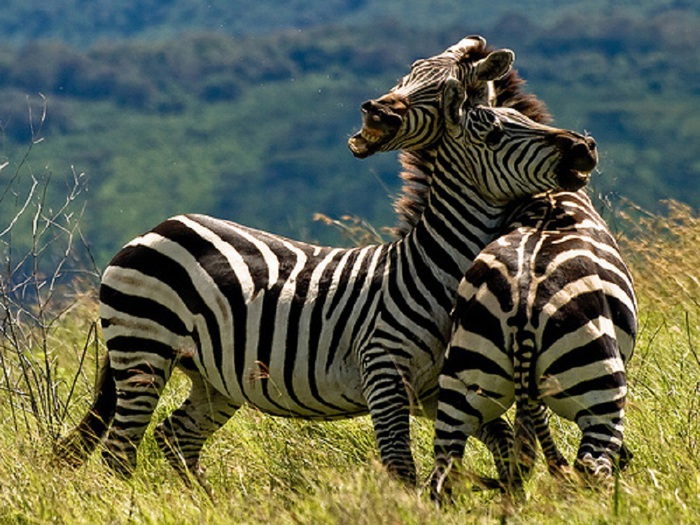 animal-photography-dwelling-zebra (700x525, 165Kb)