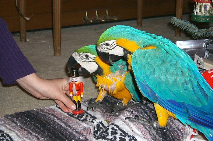 blue_gold_macaw_xmas_1 (700x466, 142Kb)
