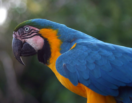 blue-yellow-macaw-de (460x360, 44Kb)