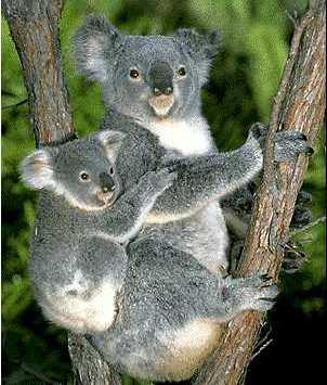 коала (302x355, 21Kb)