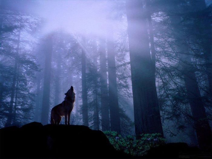 wolves_24 (700x525, 50Kb)