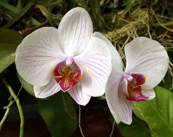 phalaenopsis-03 (700x556, 41Kb)