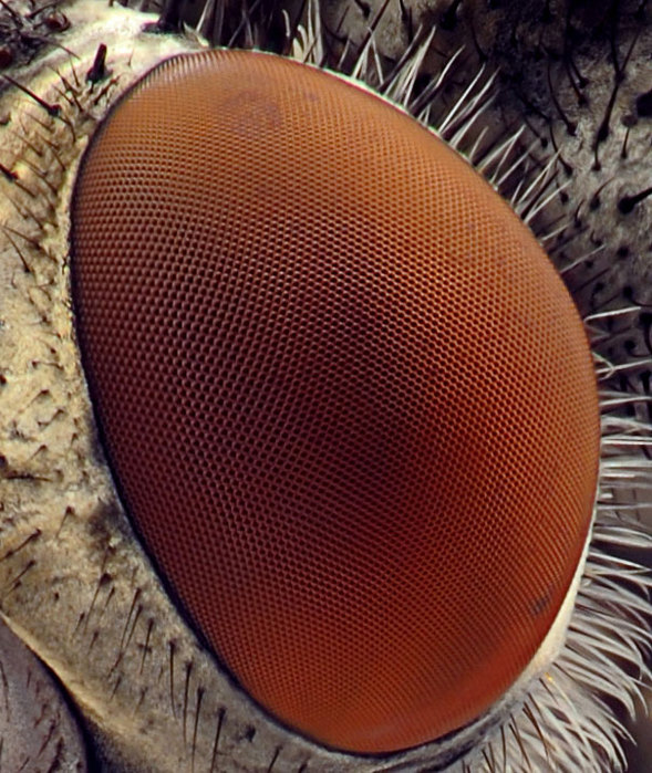 20-incredible-eye-macros-fly4 (589x700, 138Kb)
