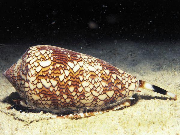 dangerous09-cone-snail_16659_600x450 (600x450, 61Kb)