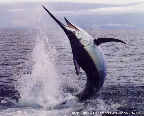 Меч-рыба (лат.  Xiphias gladius)