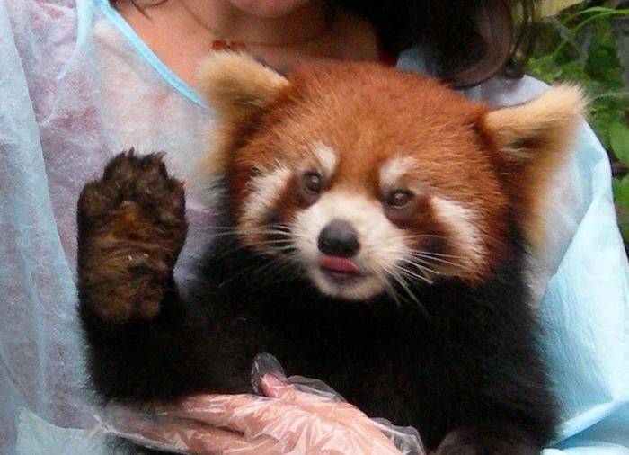 1253266176_red_panda_face (700x506, 105Kb)