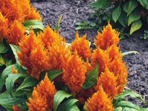 пламенный цветок (512x383, 48Kb)