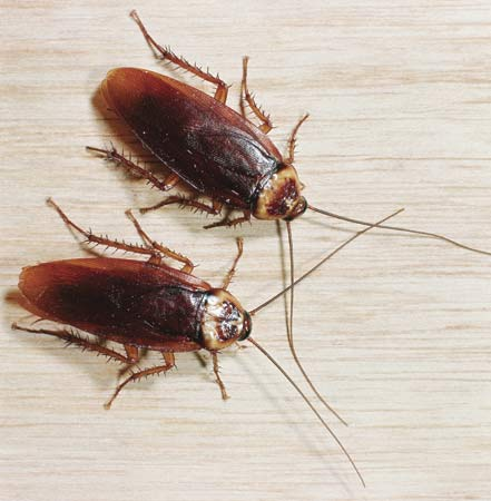 cockroaches (441x450, 27Kb)