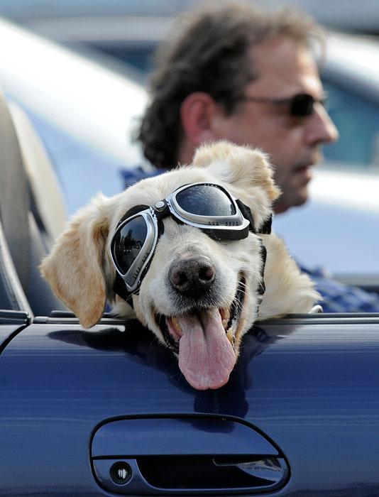 собака в очках (534x700, 45Kb)