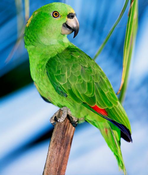 зеленый амазон: