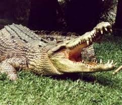 Крокодил copy (242x208, 34Kb)