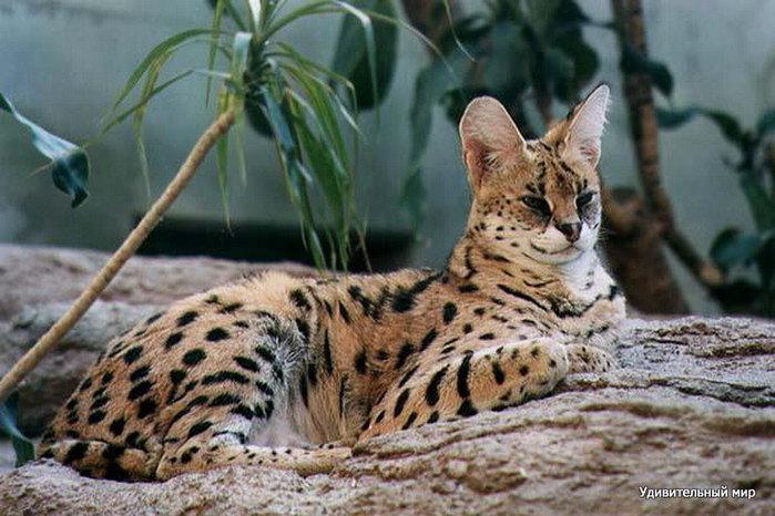 serval2 (700x466, 87Kb)