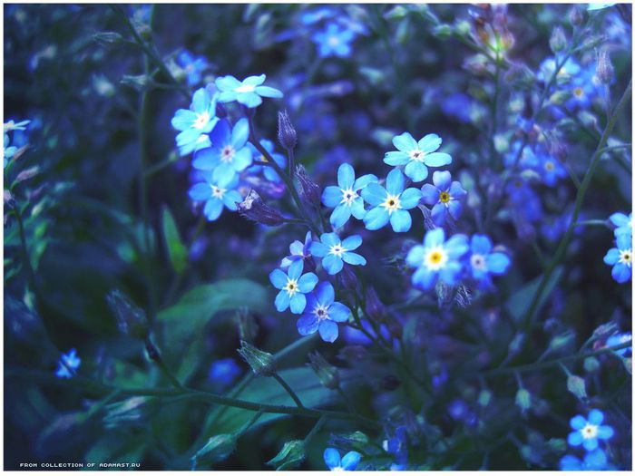 маленькие синие цветочки название фото