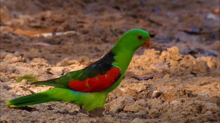 3949747_Australia_Land_of_Parrots_scr6__Yaslil_com (700x394, 65Kb)
