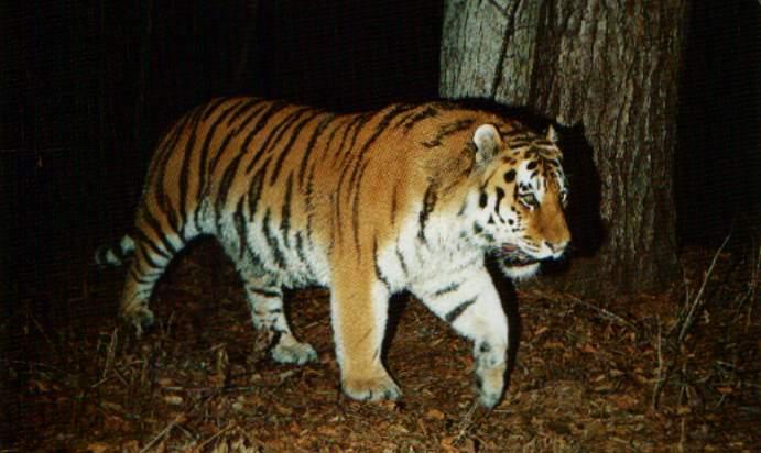 tiger (691x412, 40Kb)
