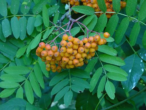 Sorbus-aucuparia (512x384, 34Kb)