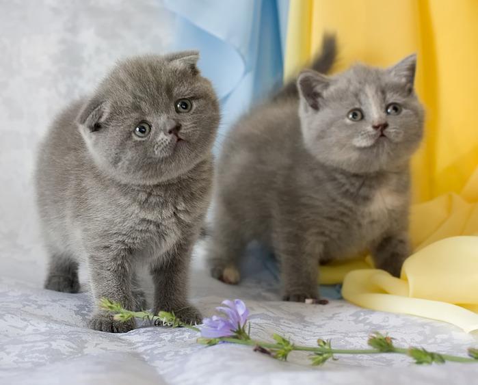 Две британские вислоухие кошки, размер: 1024x768 пикселей.