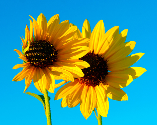 2700930_Sunflowers__Joel_Bedford (500x400, 131Kb)