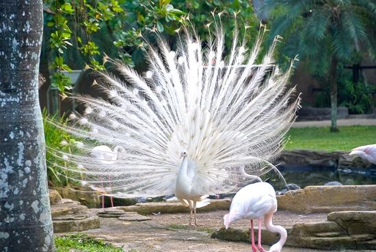 Часть птиц ходит прямо под открытым небом - некоторые попугаи, павлины...