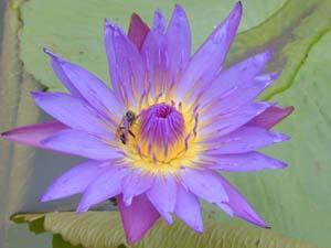 Водяная голубая лилия Египта (300x225, 10Kb)