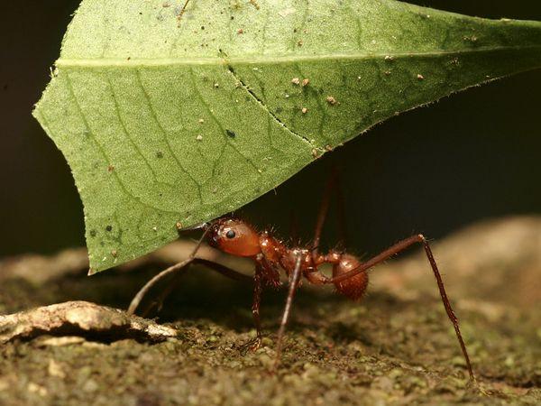 муравей (600x450, 51Kb)