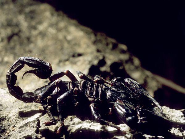 скорпион (600x450, 47Kb)